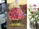 Cara-menanam-dan-merawat-bunga-mawar