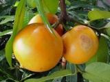 badung fruit