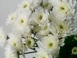 Bunga potong - Chrisant Artic Queen
