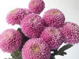 Bunga potong - chrysant Zodiac Lilac