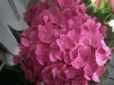 Bunga potong - pink hydrangea