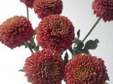 Bunga Potong -Chrysan Zodiac Brown